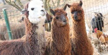 famille du lama