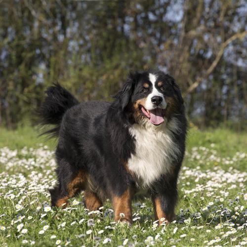 gros chien marron