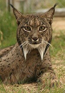 lynx famille