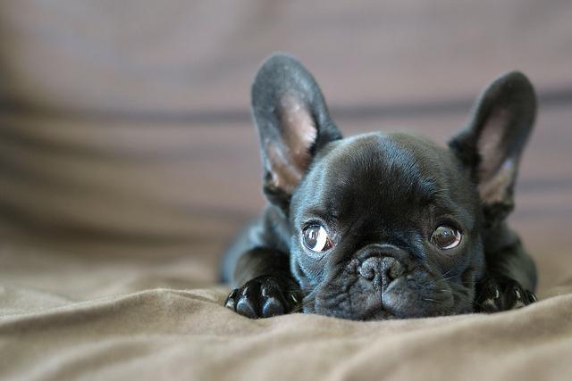 petit bulldog francais