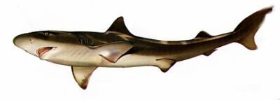 requin épée