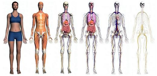 squelette du corps humain 3d